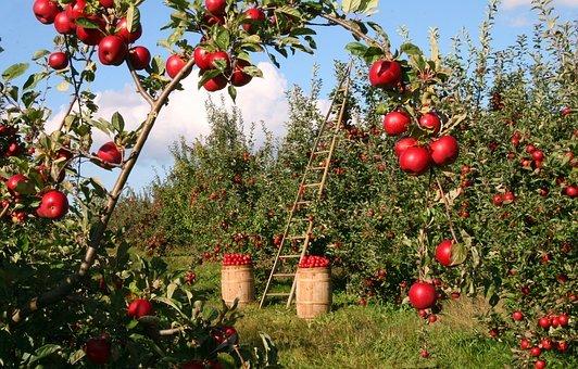 pomme dans les vergers de la crête de Fontenay